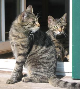 Freddy und Sammy, scheue Tigerkater aus der Rhön